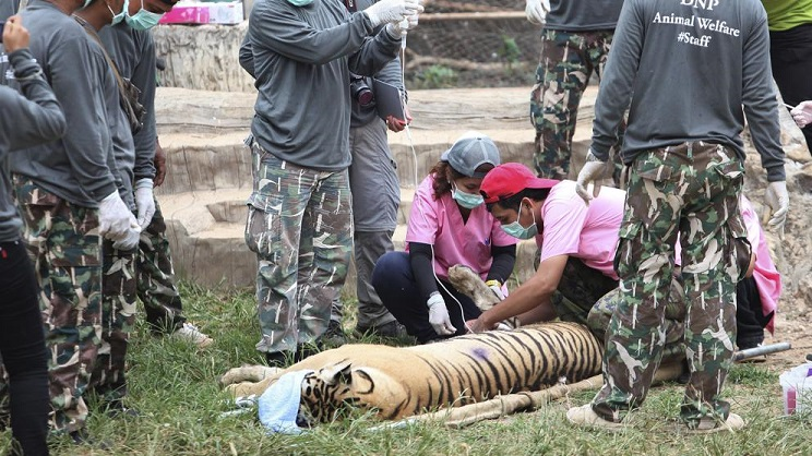 tigres mueren