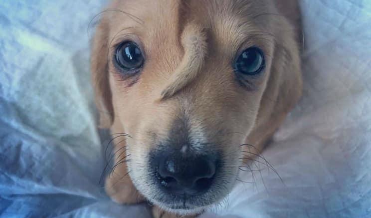 Narwhal, el perro con una cola en la cabeza que ha revolucionado las redes