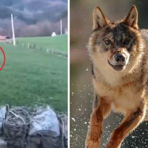 Un ganadero a punto de llorar graba a un lobo a dos metros: «¡Nos comen los lobos! ¡Nos comen!»