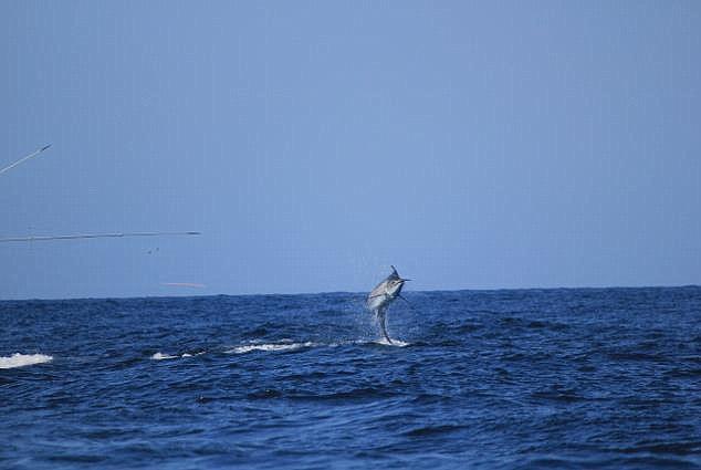 Finalmente el pez escapa y los miembros de la tripulación son rescatados / Foto: Daily Mail