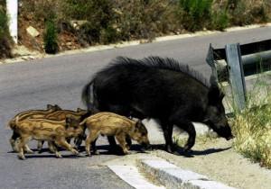 Un jabalí junto a sus crías / Foto: LASPROVINCIAS.ES