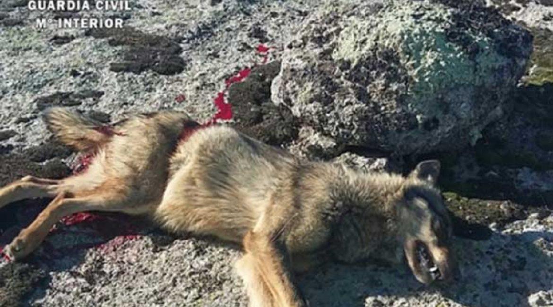 Piden dos años de cárcel y 9.000 euros de multa por matar un lobo sin autorización en una montería