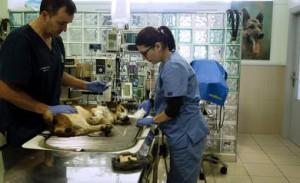 Profesionales de la Clínica Veterinaria Melide, atendiendo a uno de los perros envenenados. Foto: ELISEO TRIGO / EFE