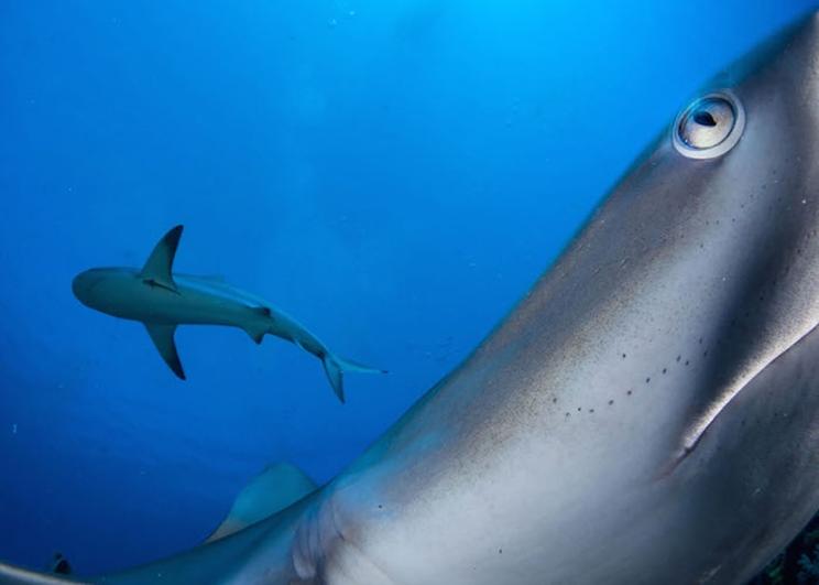 Típicamente una especie tímida, un tiburón de arrecife del Caribe investiga una cámara activada a distancia en el área protegida marina Gardens of the Queen de Cuba. / Fotografía: Infobae
