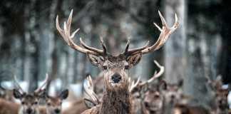 9 cosas que no sabías de los ciervos