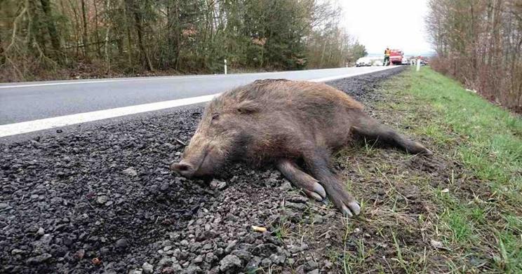 Jabalí atropellado en la carretera / Fotografía:
