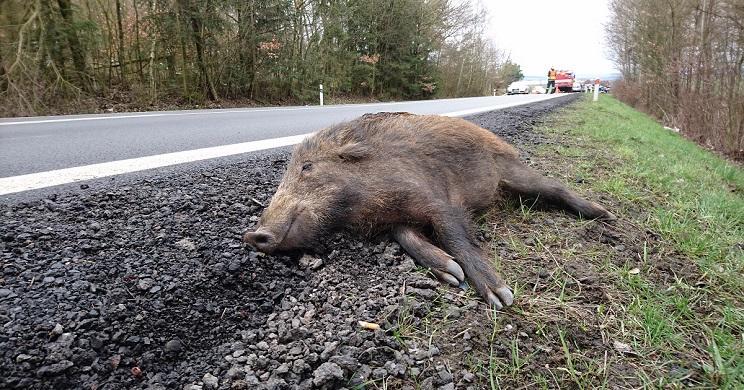 Los jabalíes son los causantes del 33% de los accidentes de tráfico con fauna