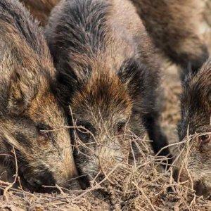 Los agricultores, desesperados: «Hay que cazar jabalíes cuanto antes»
