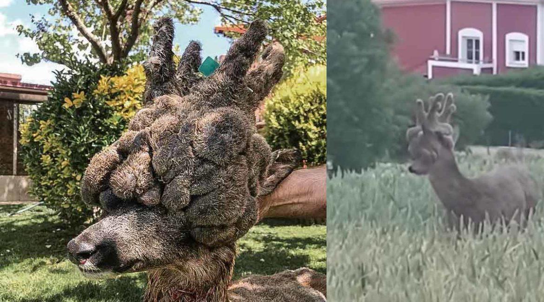 El corzo con la peluca más grande de España: así se cazó