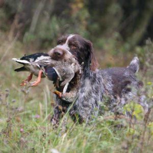 Mi perro de caza orina sangre. ¿Puede ser grave?