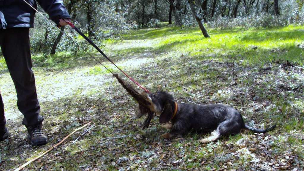 C mo adiestrar perros de rastro primeros pasos - Pienso para perros de caza ...