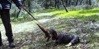 Adiestramiento de perros de caza, primeros pasos