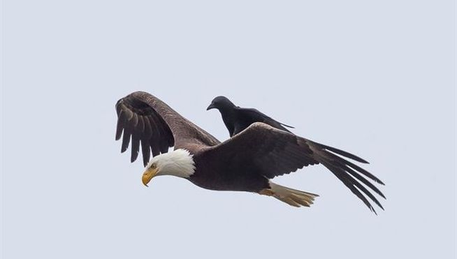 Aguila-cuervo_MDSIMA20150701_0226_21