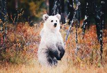 Niilo Isotalo capturó una foto de un raro cachorro de oso casi todo blanco / Fotografía: yle.fi