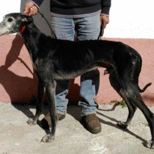 Reabren el caso del galgo robado en Sevilla en 2008 y recuperado 4 años después