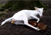Cierva blanca durante el parto / Fotografía: www.youtube.com