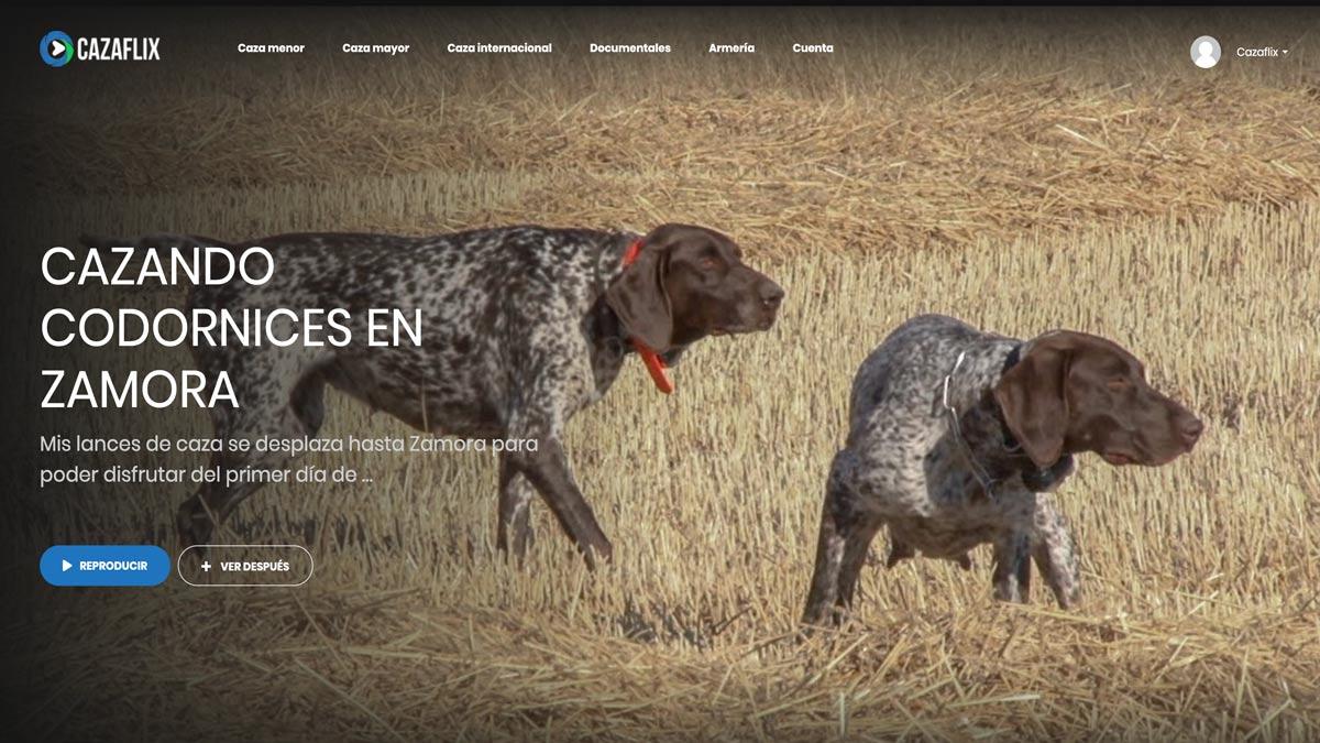 Cazando codornices con perro de muestra en Zamora