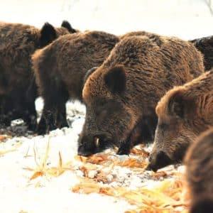 Comederos de invierno en los cotos de caza ¿Son necesarios?