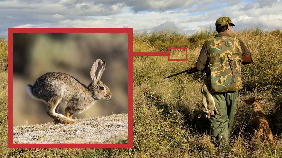 Cómo cazar conejos con podencos entre zarzas y duro monte
