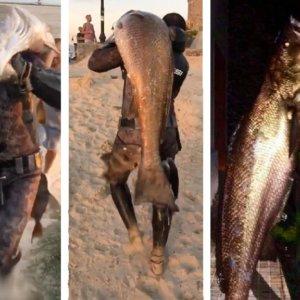 Pesca una descomunal corvina de 50 kilos a pulmón y tras nadar un kilómetro mar adentro