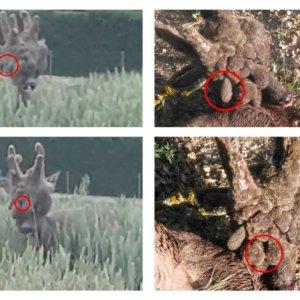 ¿Han cazado el corzo que se hizo viral por su descomunal peluca?