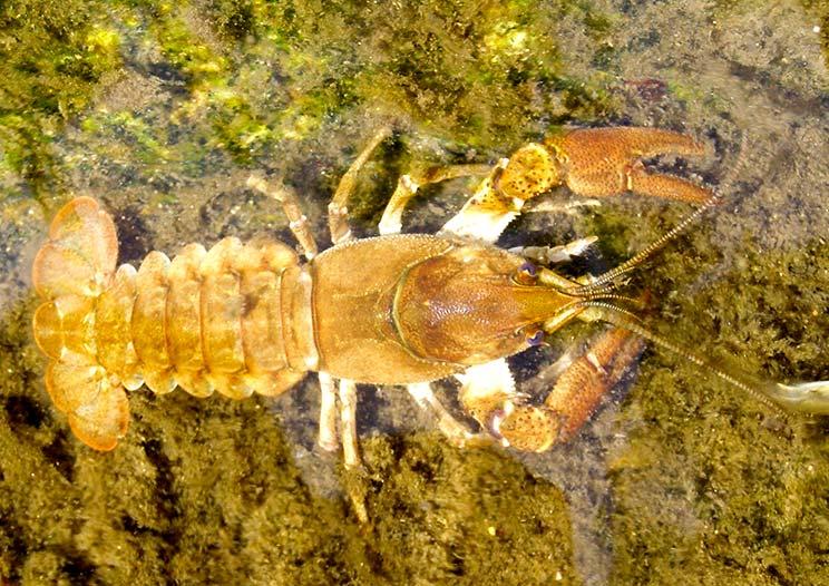 El cangrejo de río español no es autóctono, según el CSIC