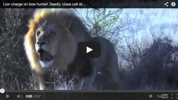 Caza de león… ¡con arco!