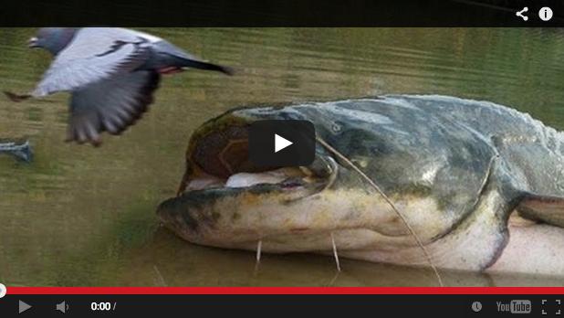 Graban en vídeo las técnicas que los siluros usan para cazar a las palomas