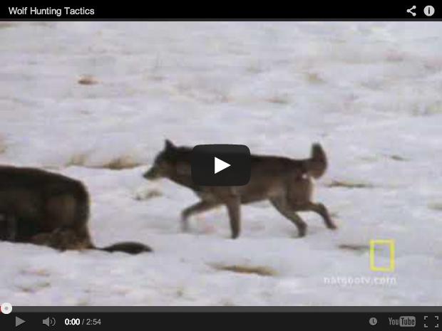 Lobos cazando. Así son sus tácticas