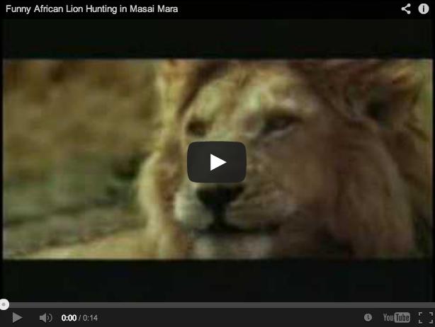 Así caza un león 'a la espera'