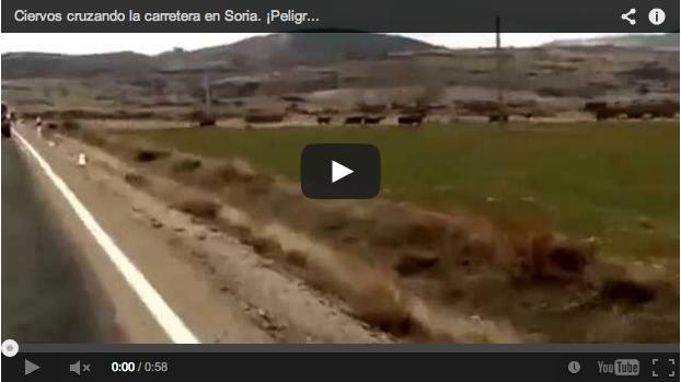 Un coche está a punto de estrellarse con una manada de ciervos