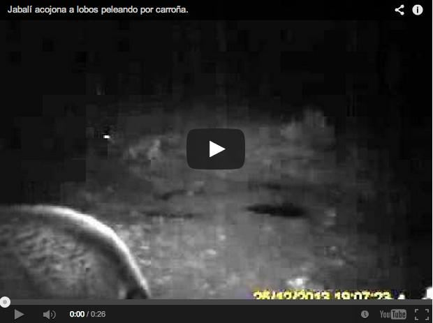Un jabalí se encara con tres lobos en un comedero