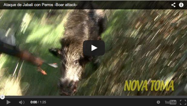 Montería española: un jabalí embiste a un cazador