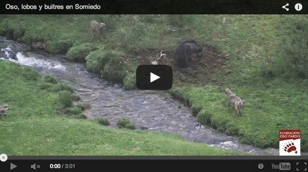 Un oso y tres lobos se disputan un ciervo muerto. Imágenes de la Fundación Oso Pardo