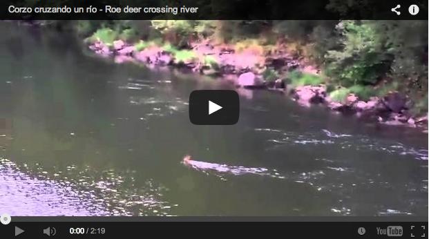 ¿Por qué cruza así el río este corzo? ¿Para cortar su rastro?