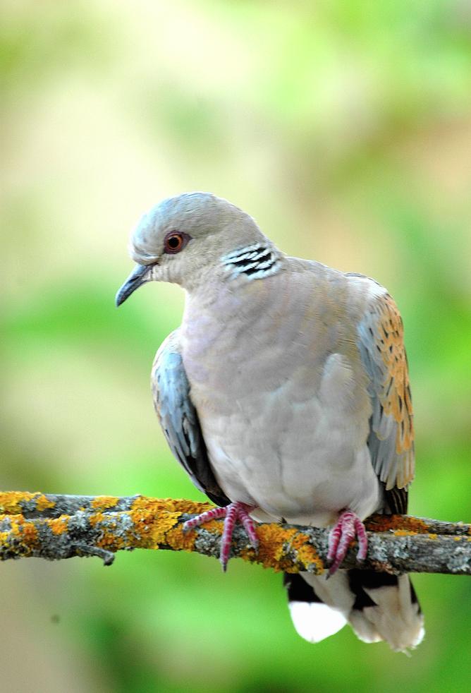 Canarias no autoriza la caza de codorniz y tórtola