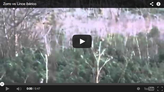 Lince ibérico vs zorro. Una pelea por el territorio
