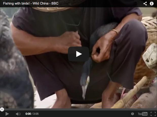 Utilizan cormoranes adiestrados para pescar:  la cetrería del agua