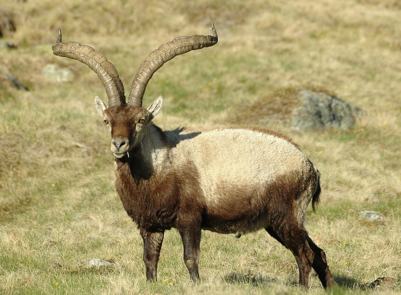 Aumentan los cupos de caza de cabra montés para evitar la aparición y propagación de la sarna en Teruel