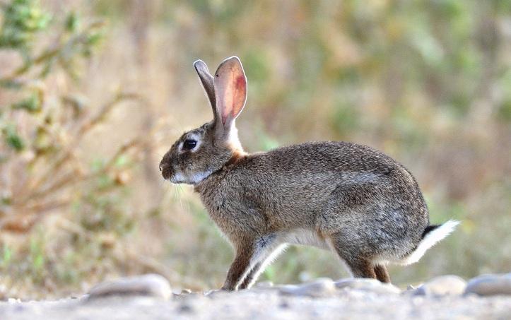 Conceden casi 3.300 permisos de descaste de conejo en año y medio