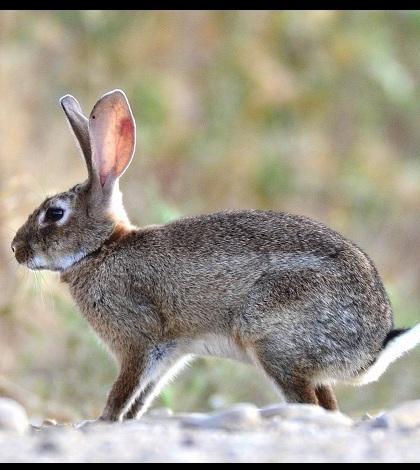 El conejo provoca la declaración de emergencia cinegética