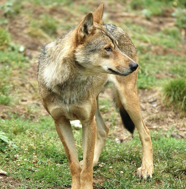 Castilla y León modifica el Plan de Conservación y Gestión del Lobo