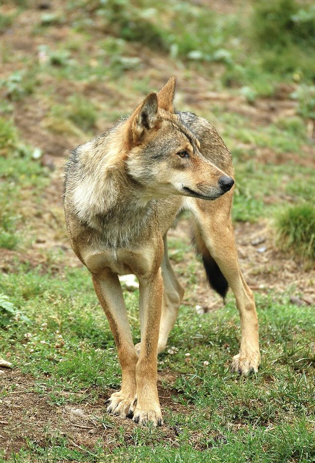 El PP impulsa en el Congreso una moción por la defensa del lobo y la elaboración de más censos