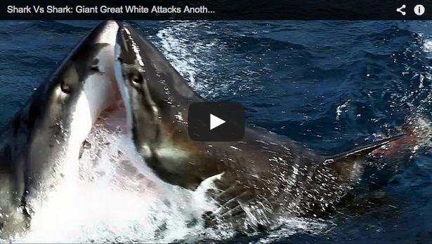 Tiburón blanco vs tiburón blanco, escalofriante pelea