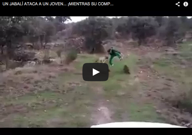 Un jabalí le lanza varios navajazos ¡y su compañero se parte de la risa!