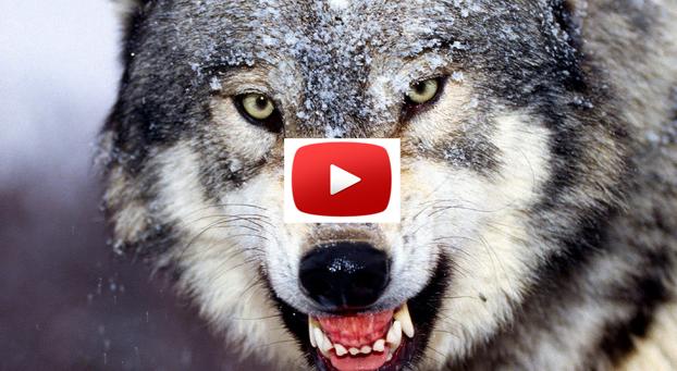 Los 5 ataques más impactantes entre predadores