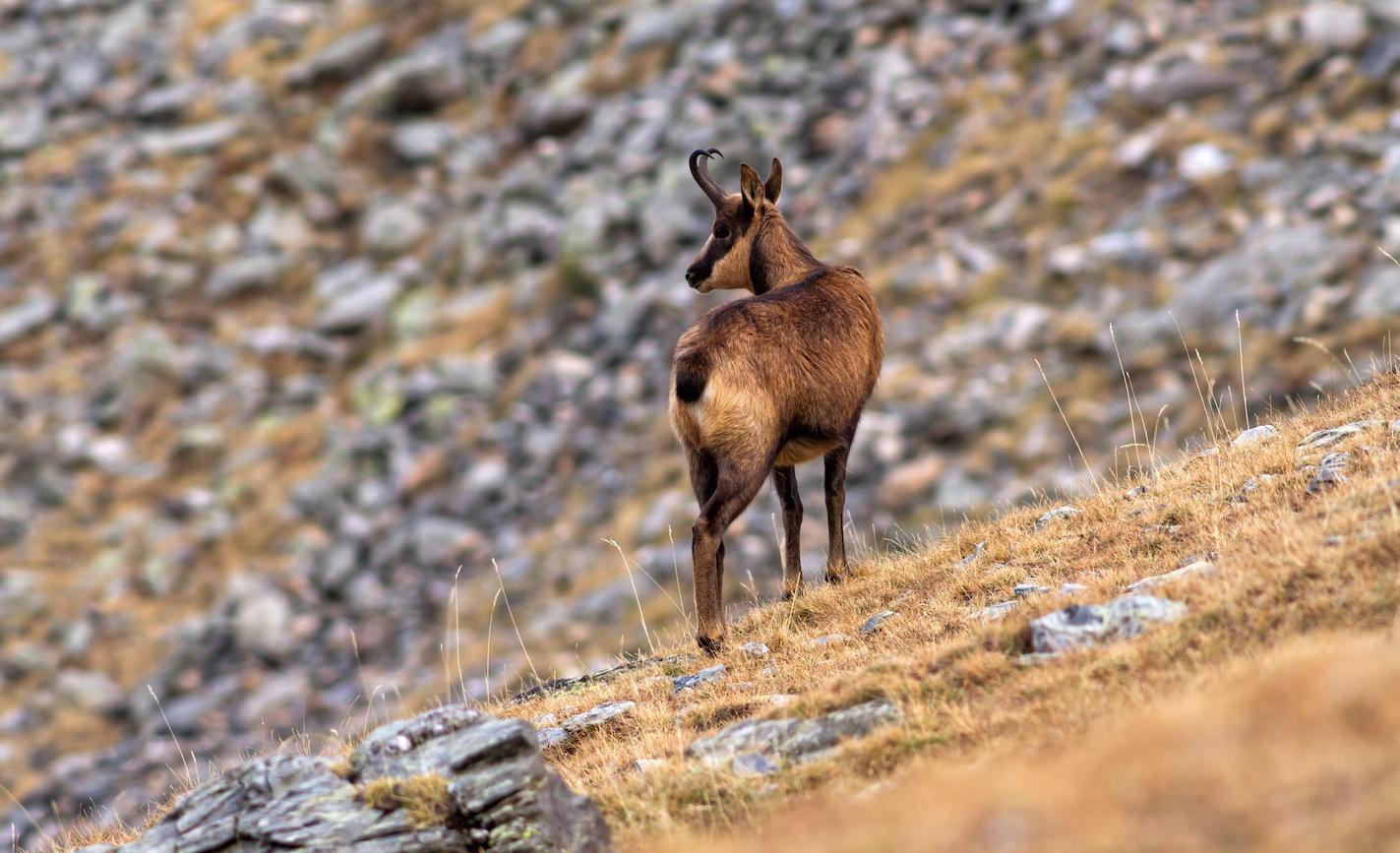 El Ayuntamiento de Canfranc saca a subasta 5 permisos de caza de sarrio
