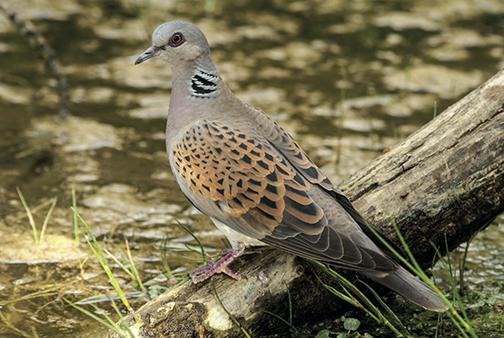 La ONC califica de decepcionantes las jornadas sobre la tórtola común de SEO BIRDLIFE