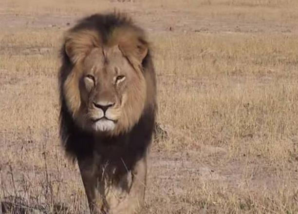 El hombre que abatió al león Cecil es estadounidense, no español