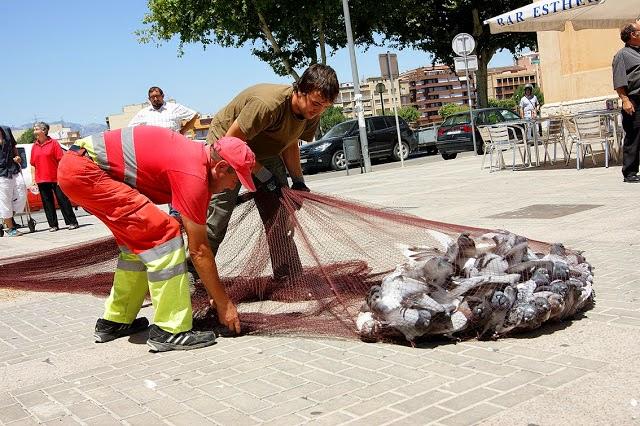 Ada Colau destina 407.000€ para gasear palomas, según PACMA